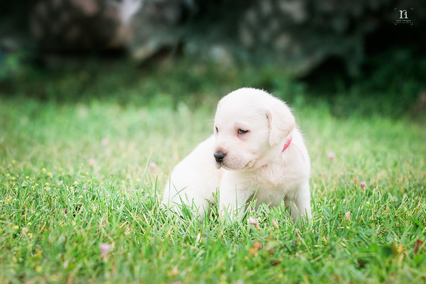 Tom Liddle - White Lab Pups  - 07/2017