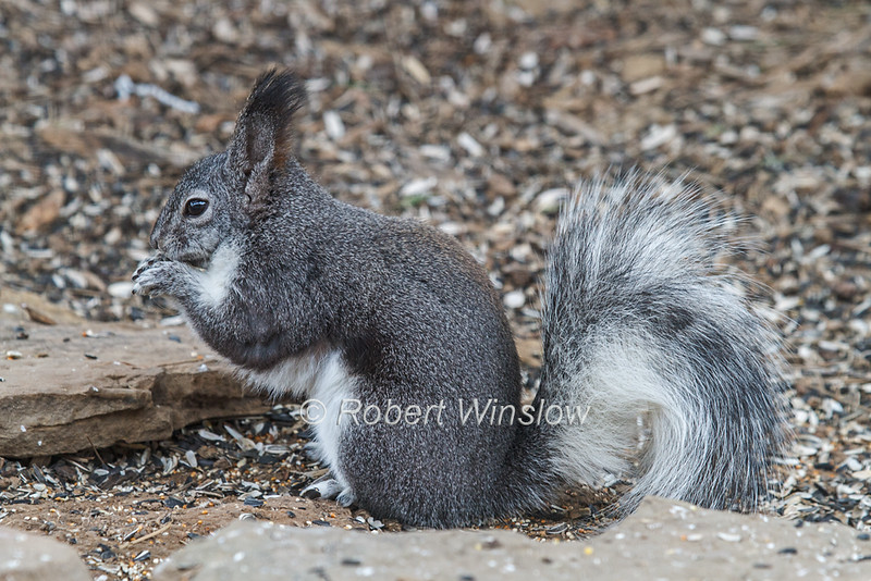 Squirrels - Abert's
