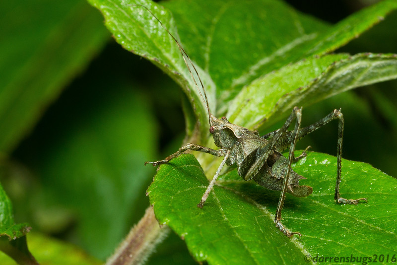 Lichen-esque katydid (Tettigoniidae) from Monteverde, Costa Rica.