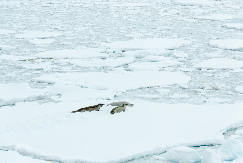 Seals in an iceberg in Lemaire Channel, Antarctica