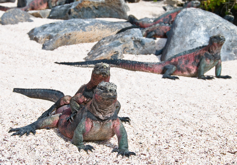 Just friends....Marine Iguanas at Punta Suarez, Espanola Island