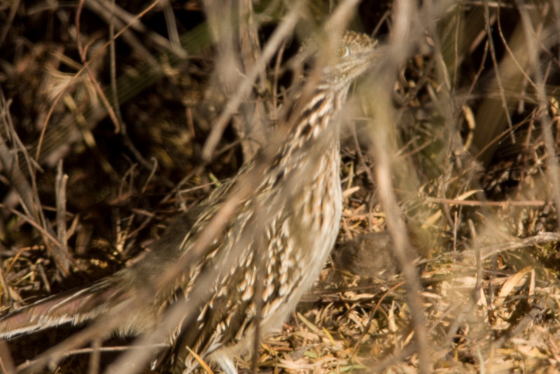 Ok this is a lame shot as far as bird portraits go, but it was only the second Greater Roadrunner I've ever seen (Holly's first!), so I thought it deserved a spot on the web.