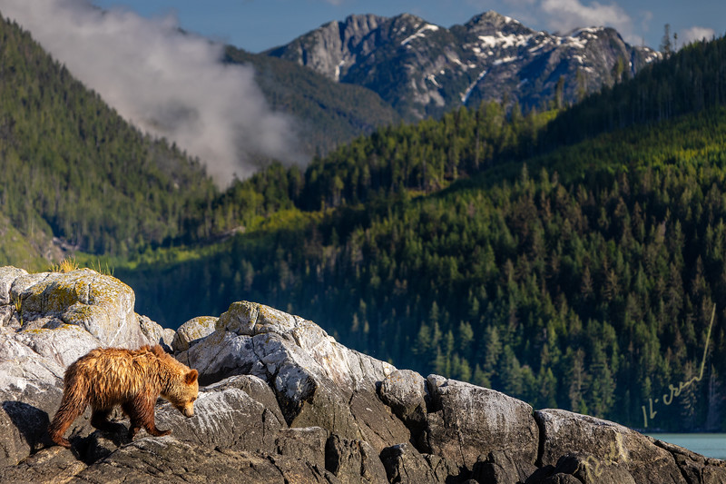 Grizzly bear walking shore