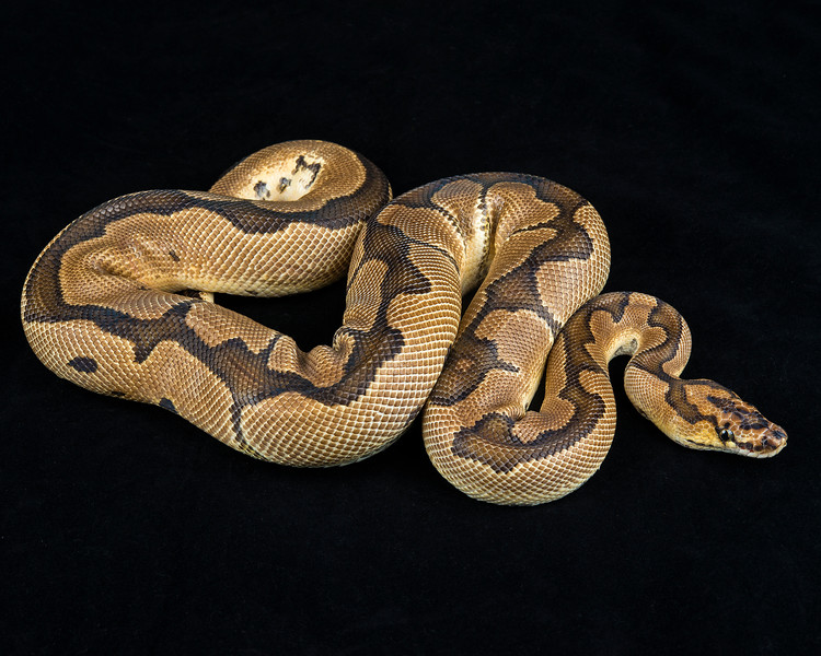 2013 Clown male, 885 grams, $400