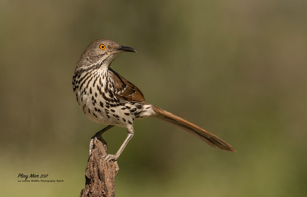 Long-billed Thrasher LL.jpg