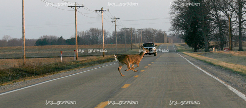 A white-tailed deer runs across 150E Coles County Road (Lake Road) near 100N Etna Road in rural Mattoon, Illinois on Monday, March 16, 2009. (Jay Grabiec)