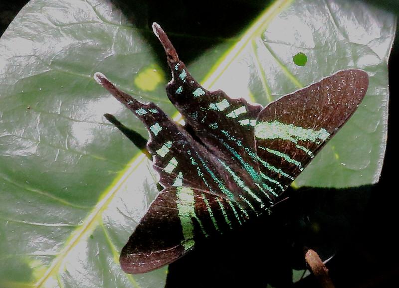 Green Urania Moth.jpg