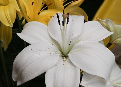 Lillies of May 2012