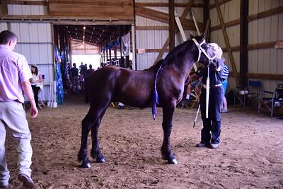 Percheron Stud Foal