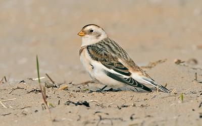 UK Rare/Scarce Birds 2012-2020
