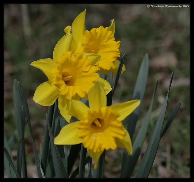 Yellow Daffodil, Julian, San Diego County, California, March 2010