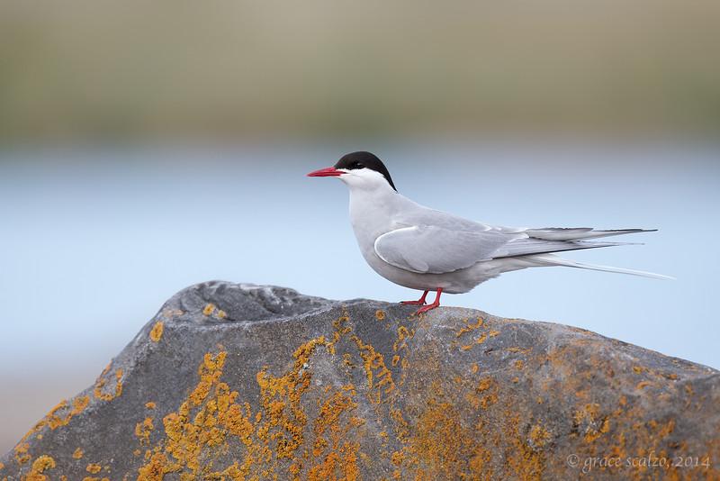 Arctic Tern on Rock, Churchill, Canada, June 2014