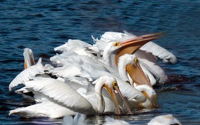 White Pelicans, Great Blue & Woodstorks
