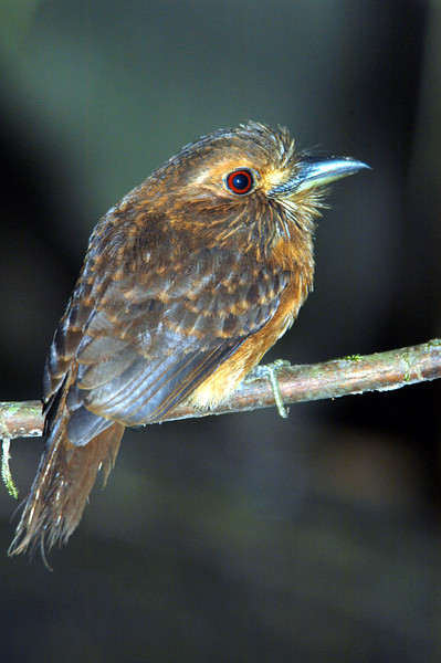 Puffbird Costa Rica