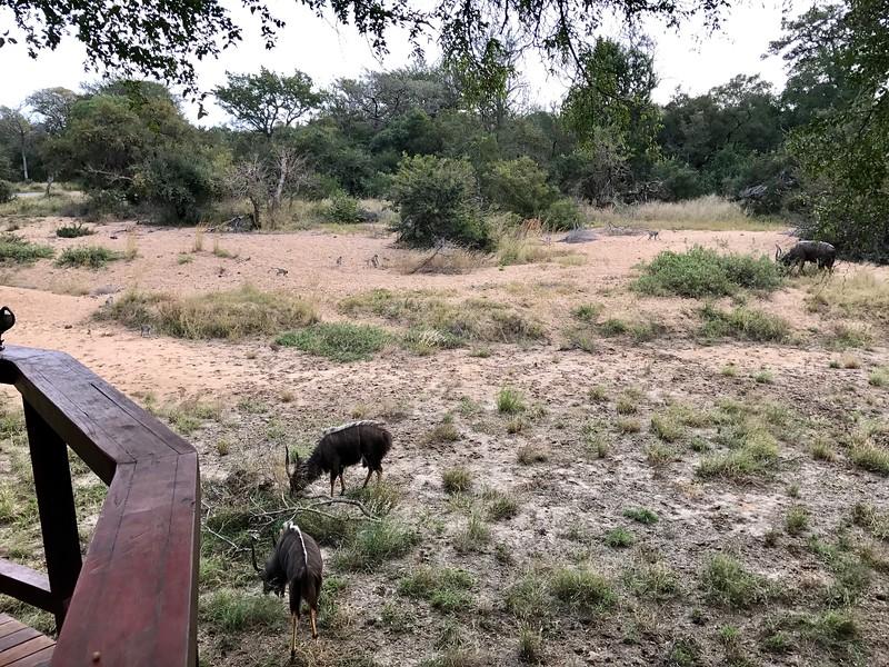Male Nyala & Baboons