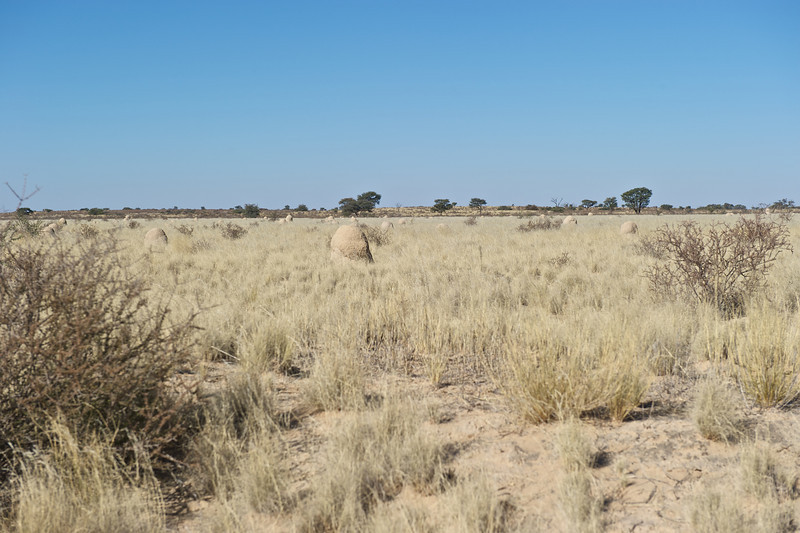 Kalahari Desert and termite mounds, Kgaligadi Transfrontier Park, South Africa