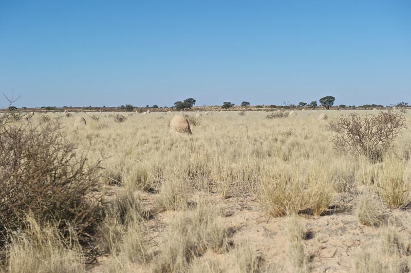 Kalahari Desert and termite mounds, Kgaligadi Transfrontier Park, South Africa