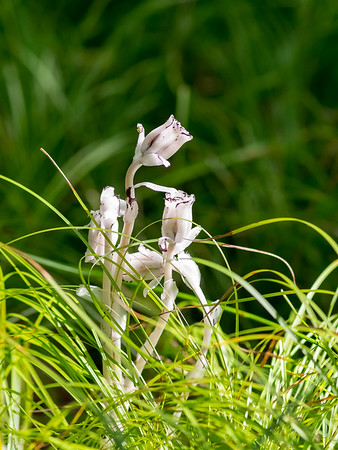 Indian pipe wildflower study