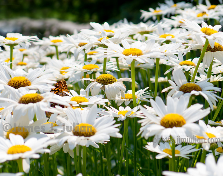 Field of Daisies 2