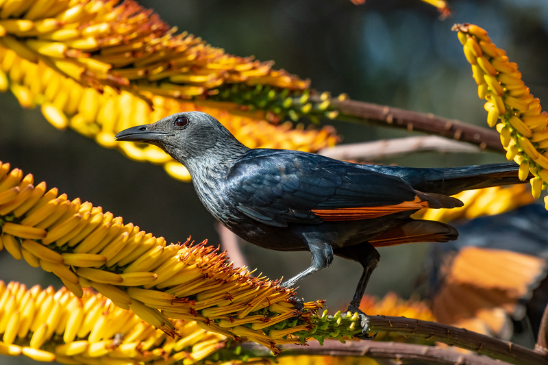 Red-winged Starling Closeup