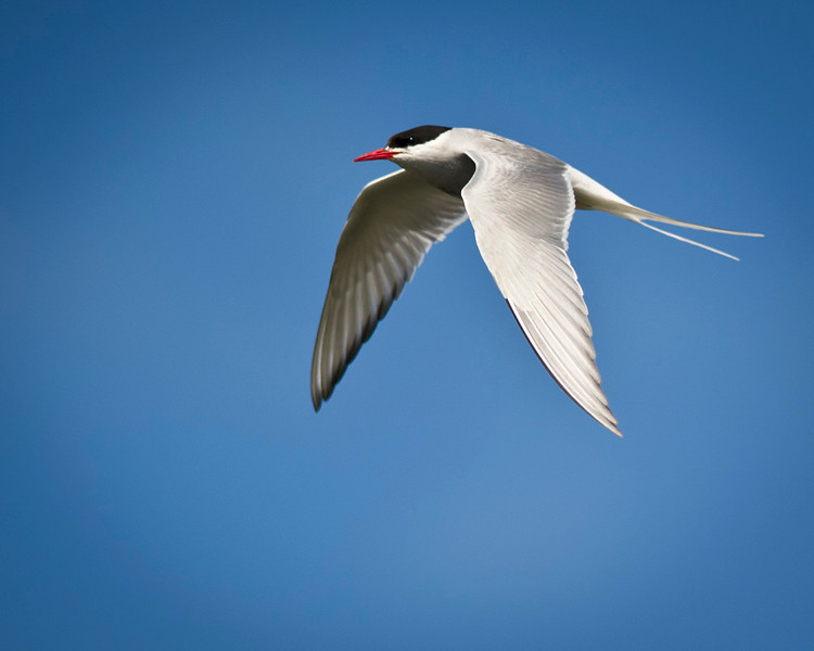 Arctic Tern in Flight Potter's Marsh Anchorage, Alaska © 2011