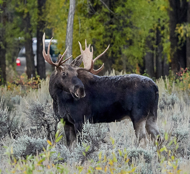 Moose Stag
