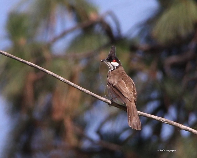 Red-whiskered Bulbul copy.jpg