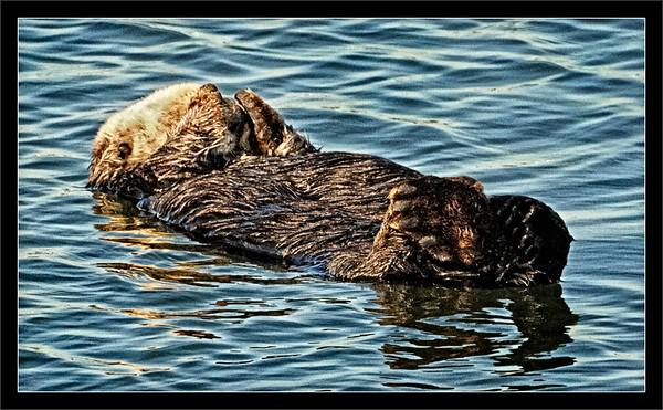 Lights Out  A sea otter naps with paws over its eyes to block the late-afternoon light  Moss Landing State Beach, California  18-APR-2010