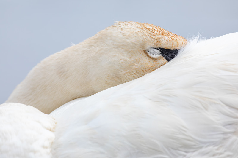 Sleeping Swan-1.jpg