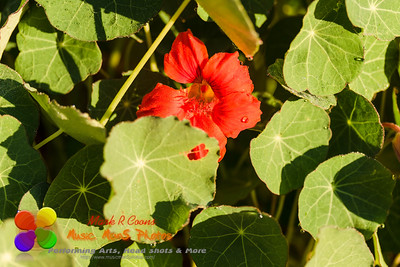 a red Nasturtium bloom peeking out in the back garden