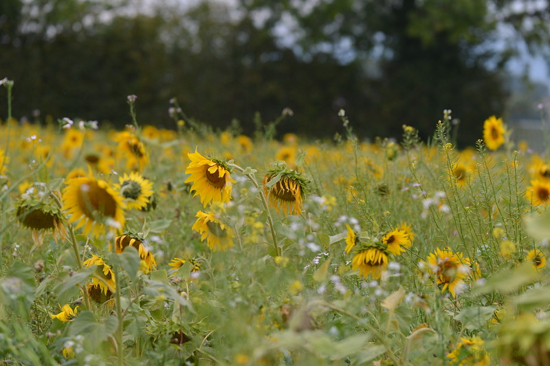 Sunflower Lonay_20092020 (78).JPG