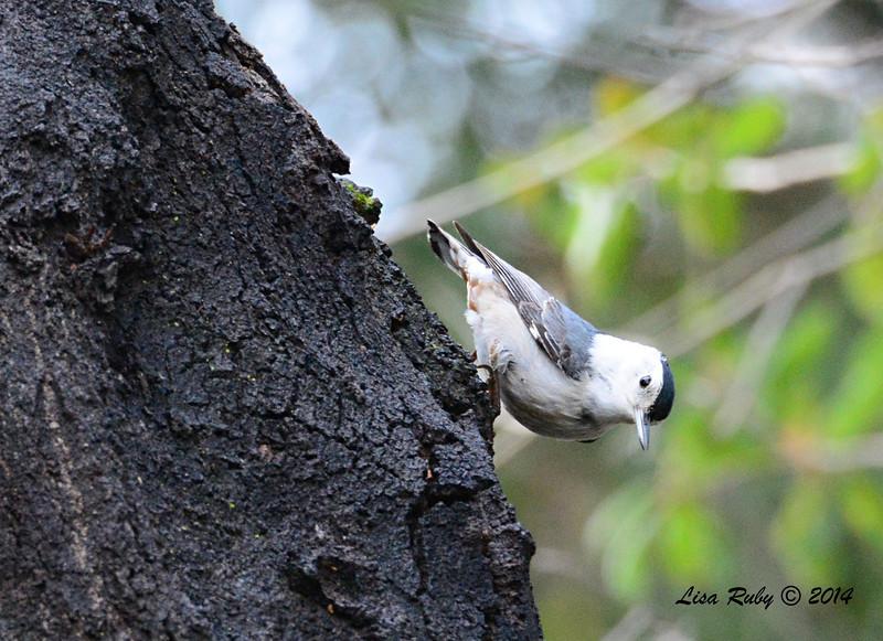 White-breasted Nuthatch - 3/2/14 - Birding 100 San Diego Bird Festival