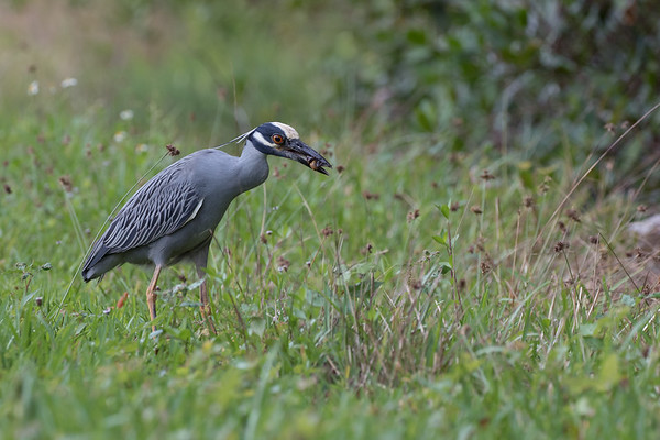 Heron, Yellow-Crowned Night