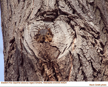 EasternFoxSquirrel40624.jpg