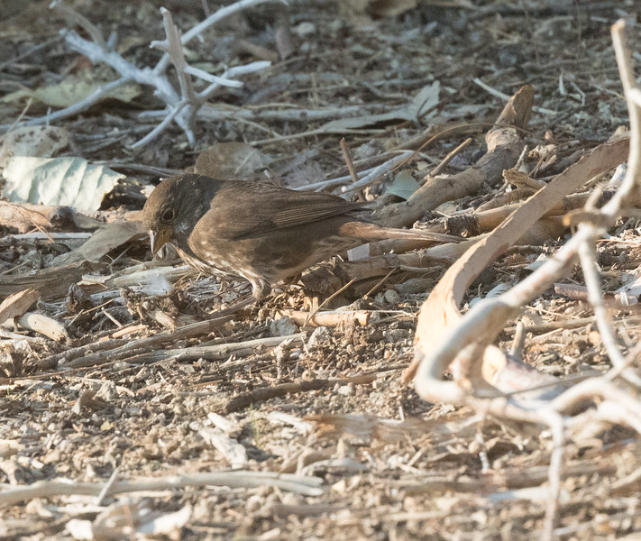 Fox Sparrow {Sooty} Coso Junction 2020 10 11-2.CR2