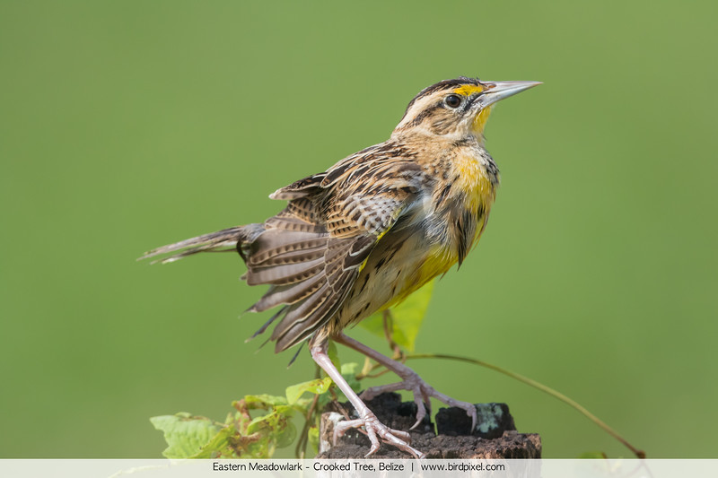 Eastern Meadowlark - Crooked Tree, Belize