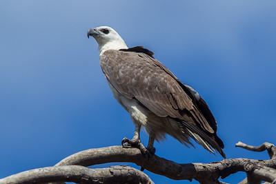 Eagles, Hawks & Kites