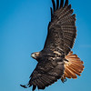 Eric Gofreed, Red-tailed Hawk
