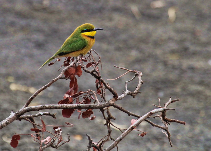LITTLE BEE EATER - SOUTH AFRICA