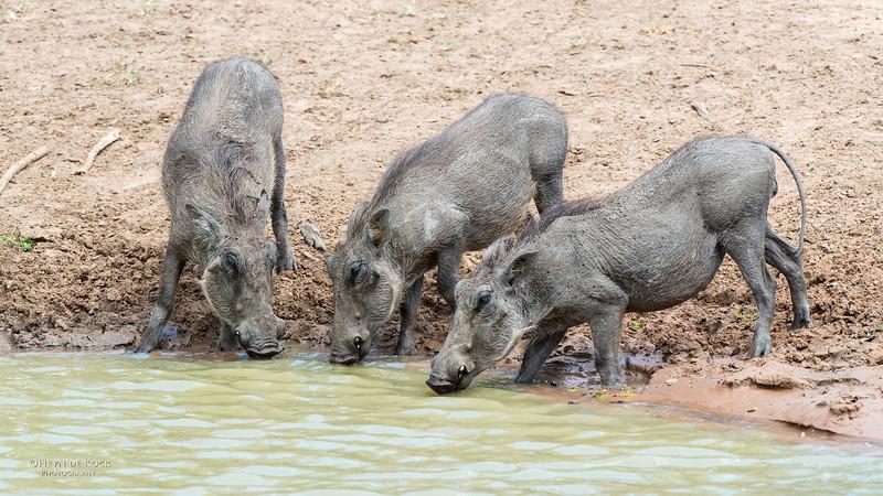 Warthog, Mkuze GR, KZN, SA, Jan 2014-4.jpg