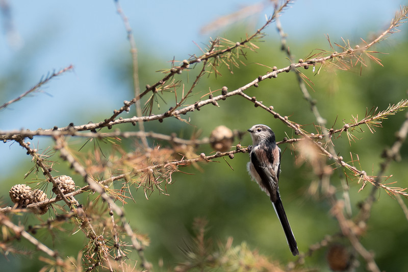 raniuszek czarnobrewy | long-tailed tit europaeus | aegithalos caudatus europaeus