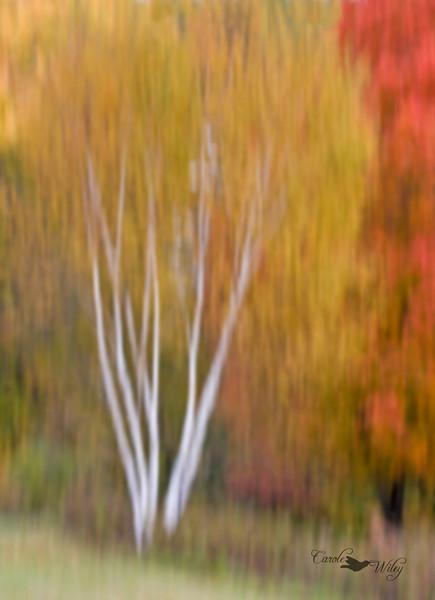 white birch ss.jpg