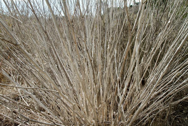 Sweet Fennel, Foeniculum vulgare, not native