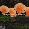 Orange Shelf Fungus