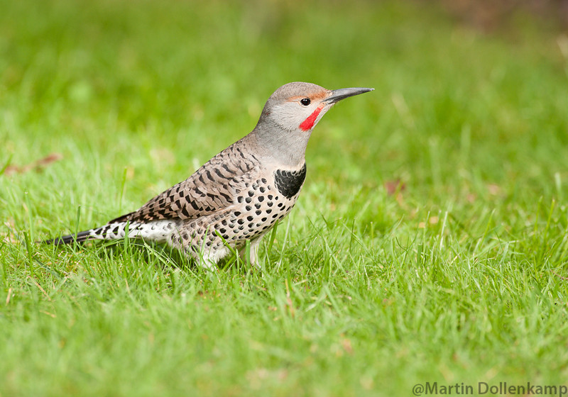 Norther Red Shafted Flicker on the lawn, took me awhile to figure out who was making the holes in the garden.