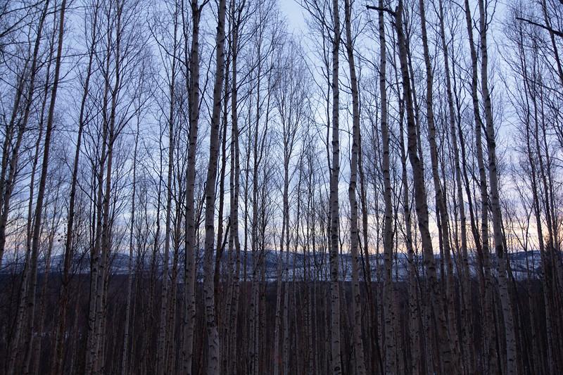 Birch Skies