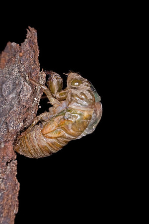 Metamorphosis of a Cicada