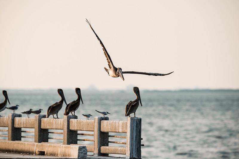 Skyway bridge birds-7.jpg