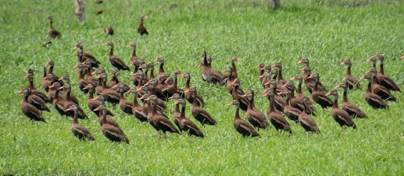 Costa Rica_Birds_Whistling Ducks-7.jpg