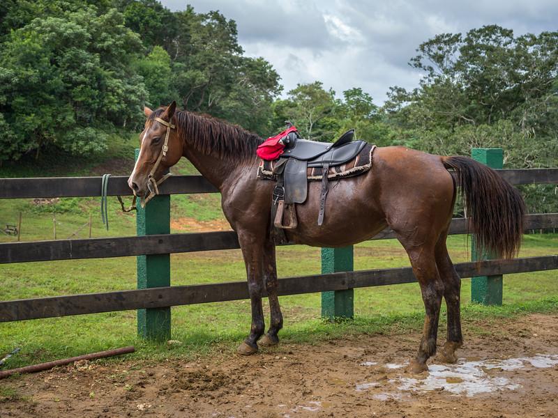 Horse at ranch, Chaa Creek Road, Chaa Creek Nature Reserve, San Ignacio, Belize